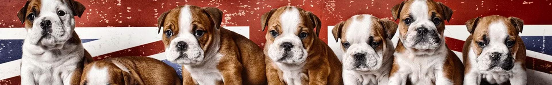 british bulldog history