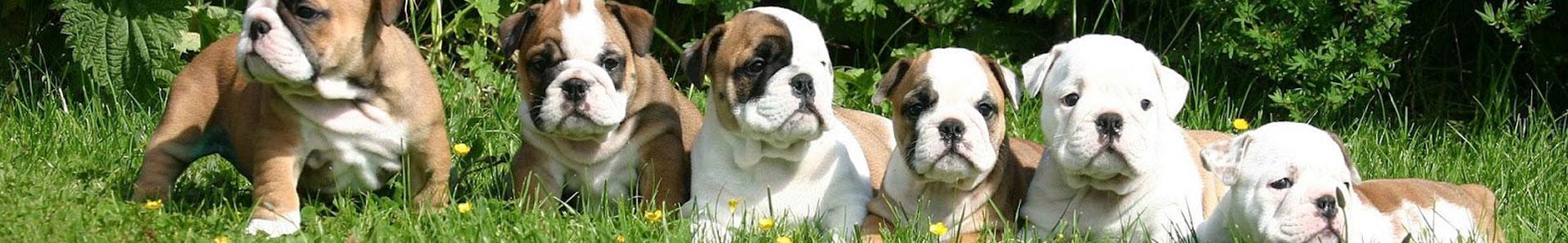 british bulldog breeders