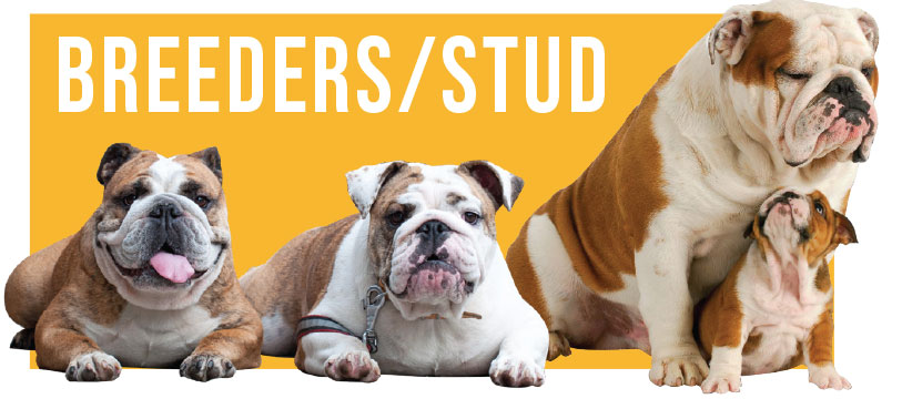 breeders and studs british bulldogs