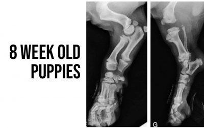 8 week old puppies and their bones