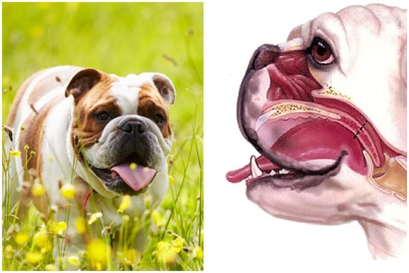 Caring for Brachycephalic Dog Breeds